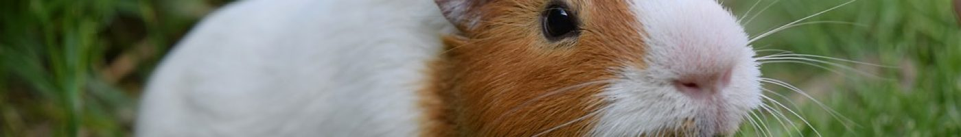 guinea-pig-2412069_960_720