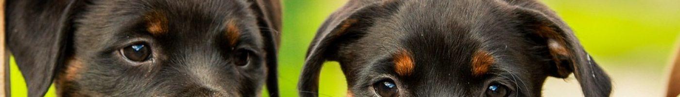 rottweiler-1785760_960_720